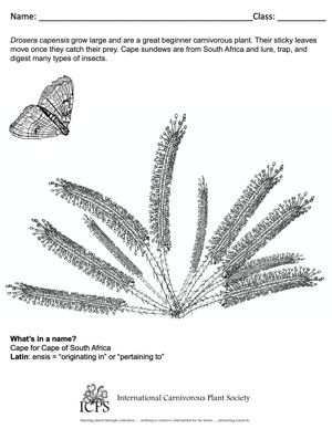 Drosera capensis Coloring Sheet