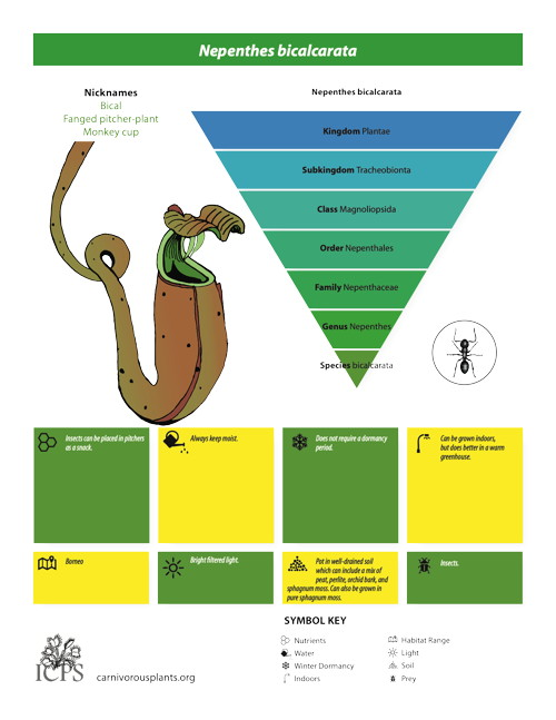 Nepenthes bicalcarata Inforgraphic