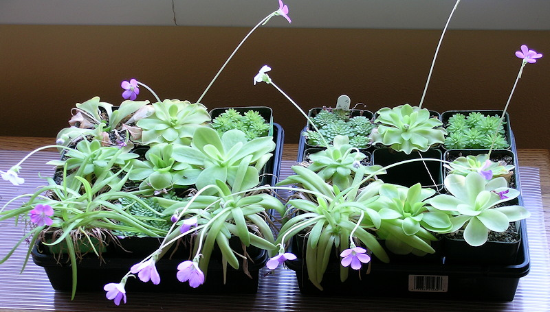 Pinguicula by window