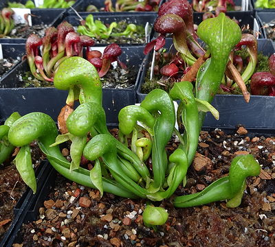 Darlingtonia Othello