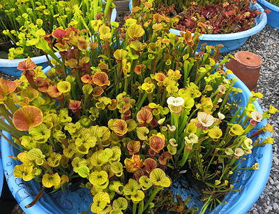 Sarracenia in kiddie pools