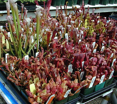 Sarracenia heated greenhouse