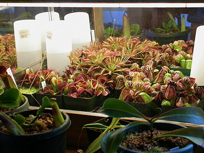 Plants can be grown in a terrarium and under the light spilling out of one. Note the plants are in pots. Planted terrariums are not recommended. & Seed Germination Guide | ICPS azcodes.com