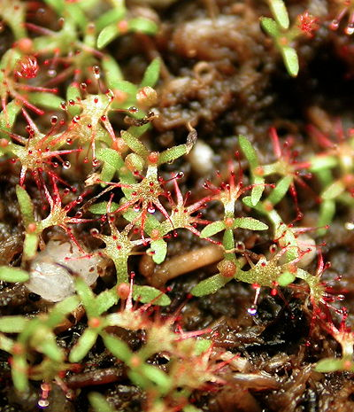 Drosera aliciae seedlings